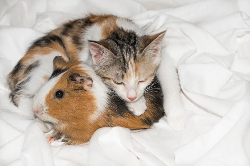 guinea pig and cat
