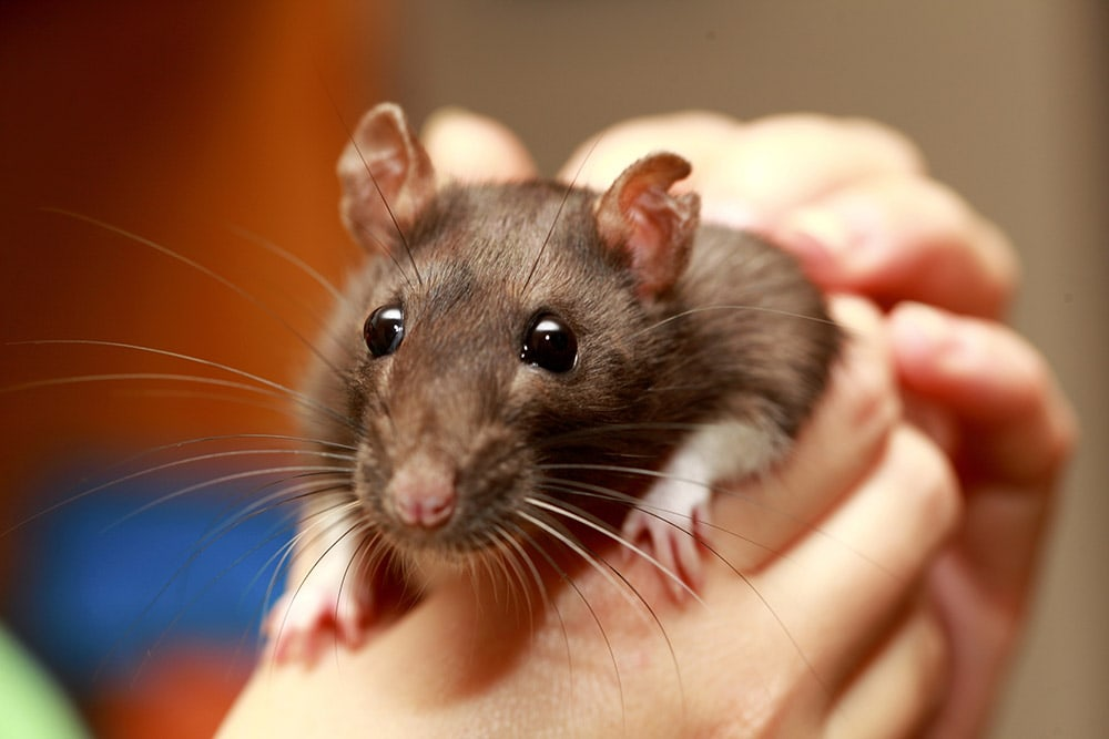 hand holding a rat