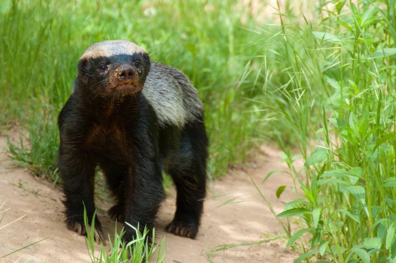 honey badger in grass