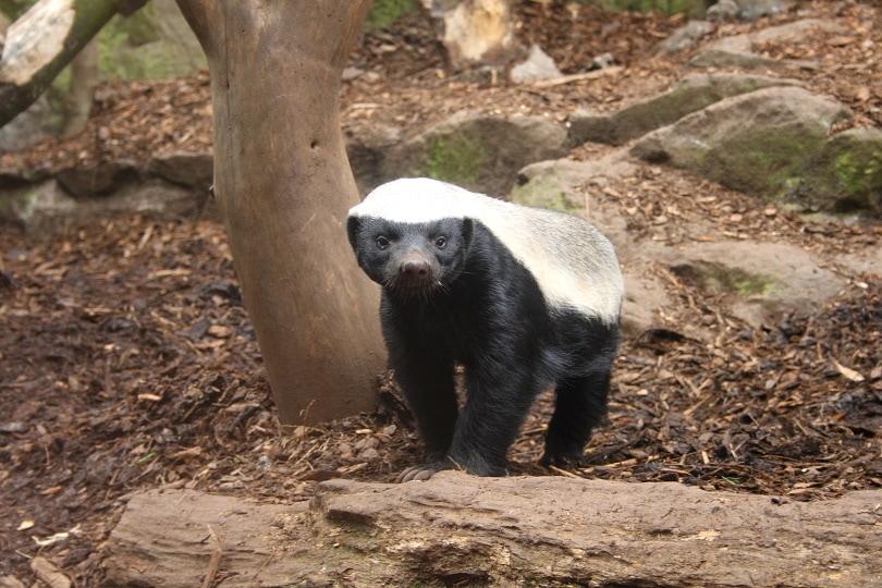 honey badger in wild