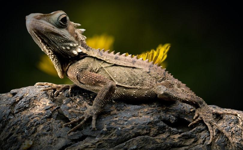 iguana_Piqsels