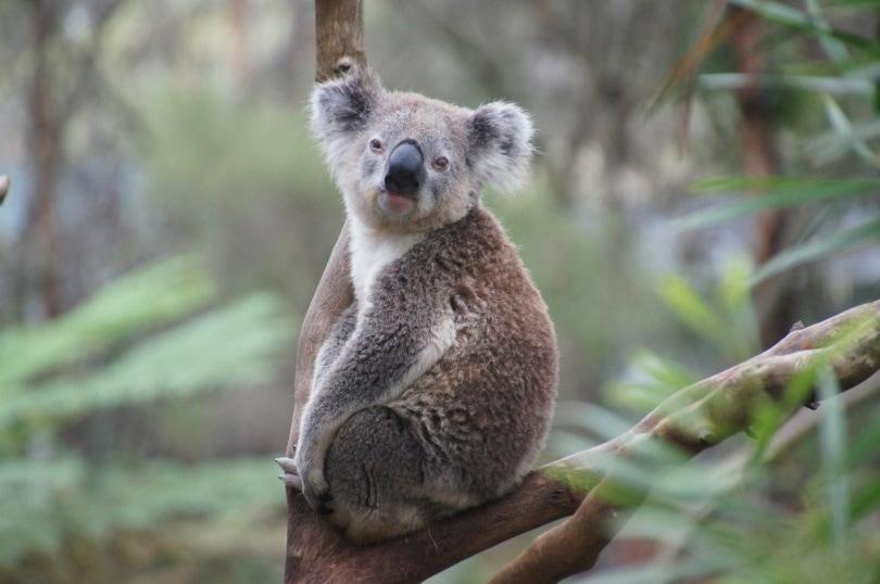 koala_Martin Str_Pixabay