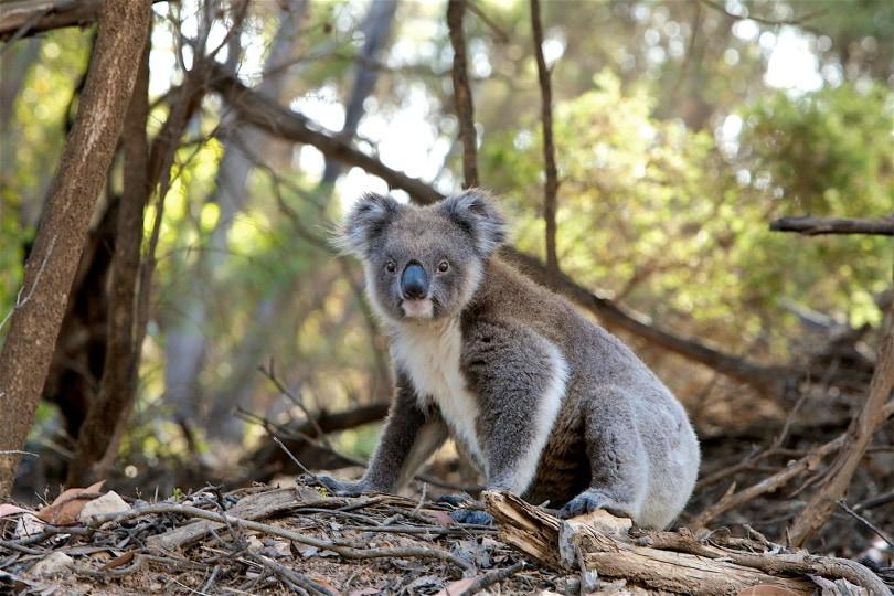 koala_Pexels_Pixabay