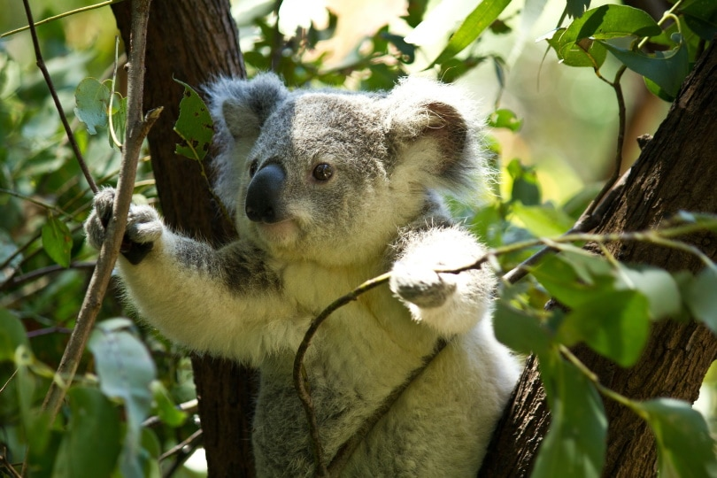 koala_Syahir Hakim_Pixabay