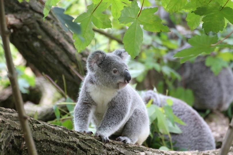 koala_winampdevil_Pixabay