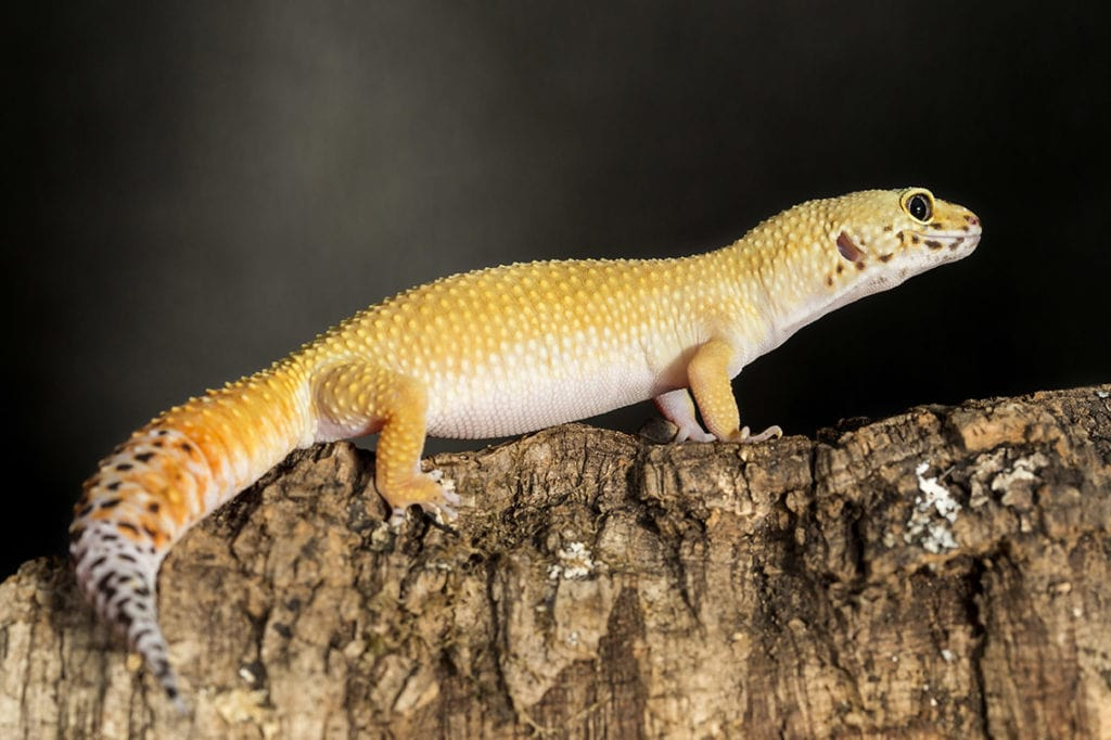Lateral view of a leopard gecko