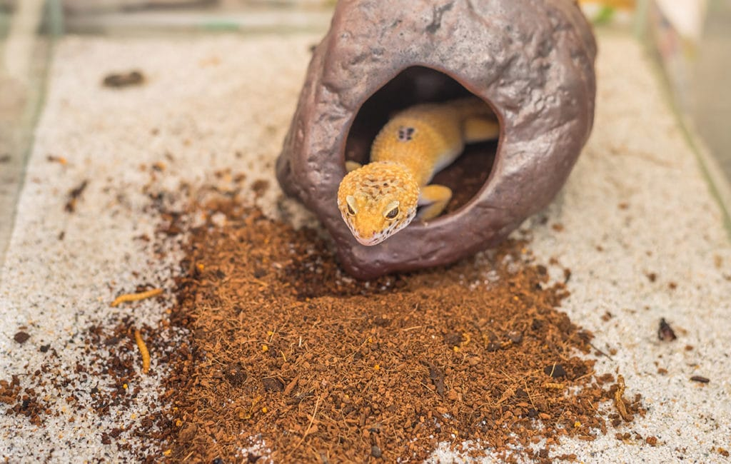 leopard gecko in its moist hide
