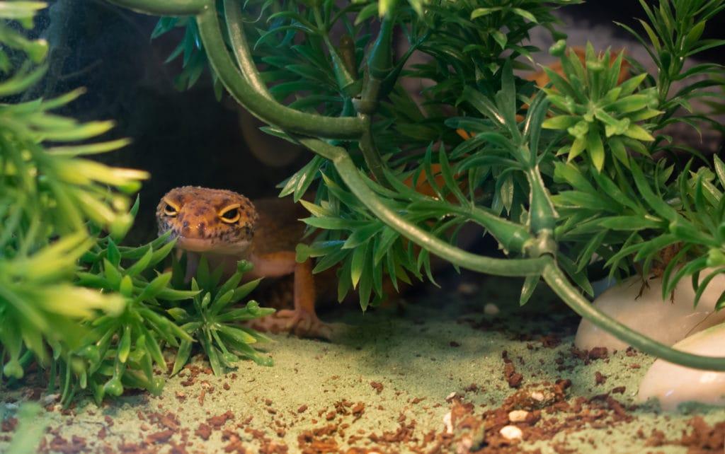 leopard gecko inside terrarium