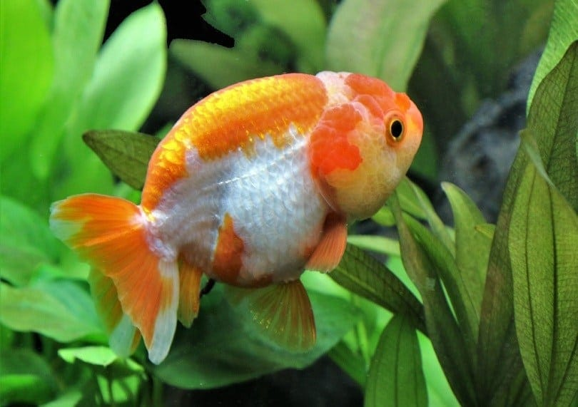 lionhead goldfish_Arunee Rodloy_shutterstock (2)