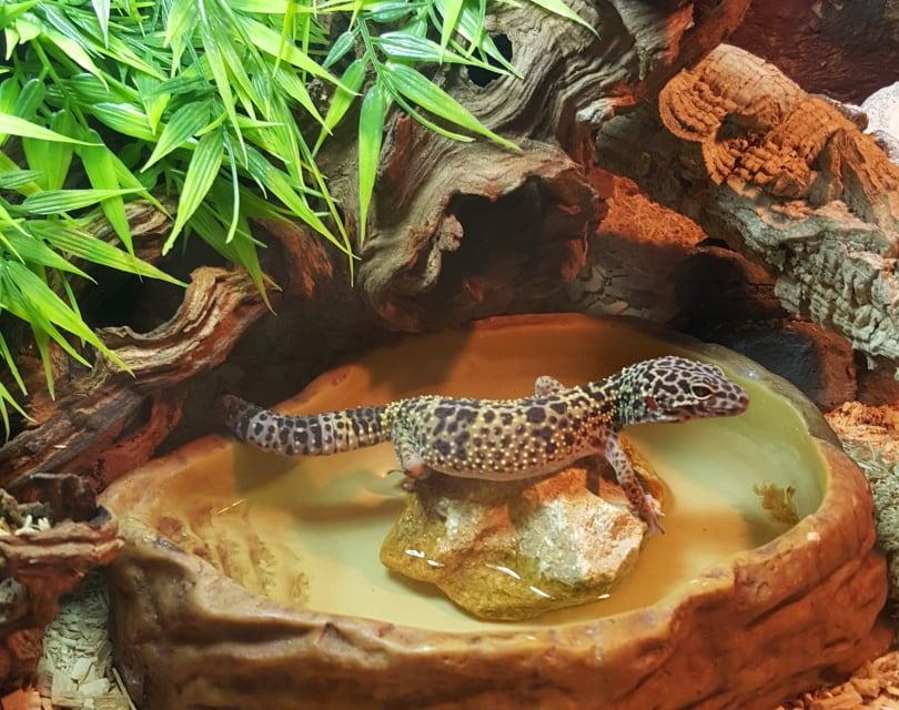 mack snow leopard gecko in tank