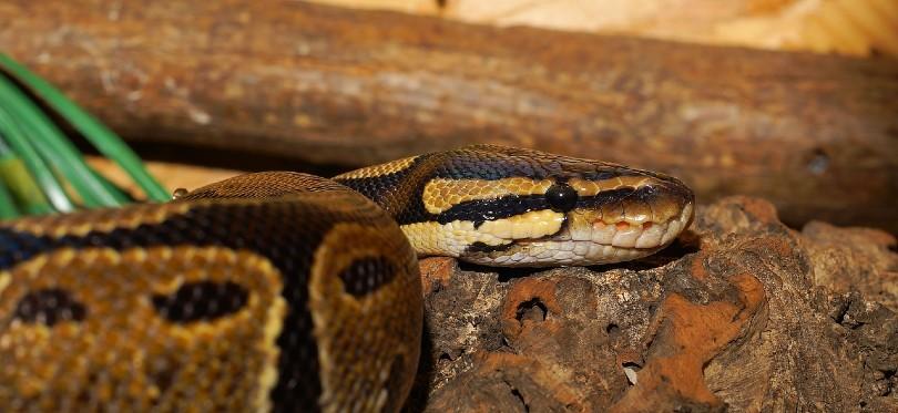 mystic ball python crawling