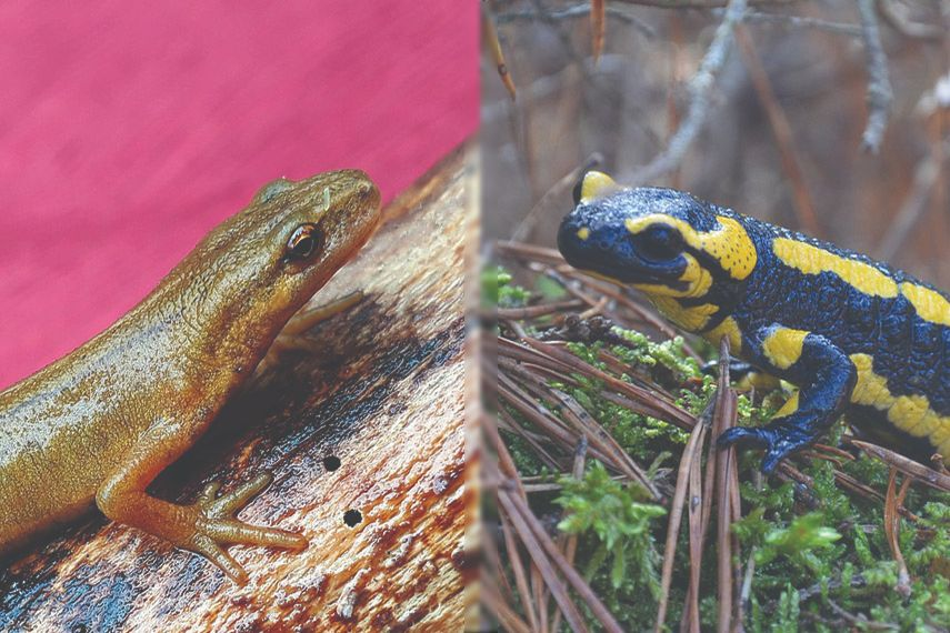 newt vs salamander
