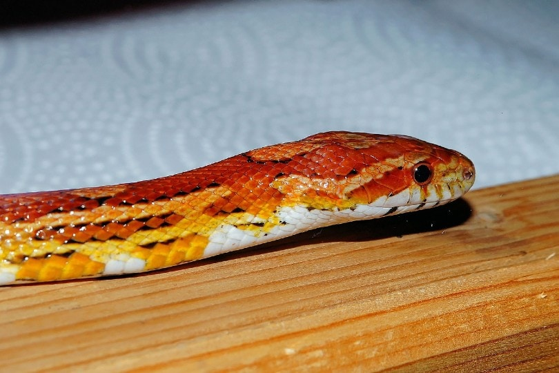 okeetee corn snake on wood