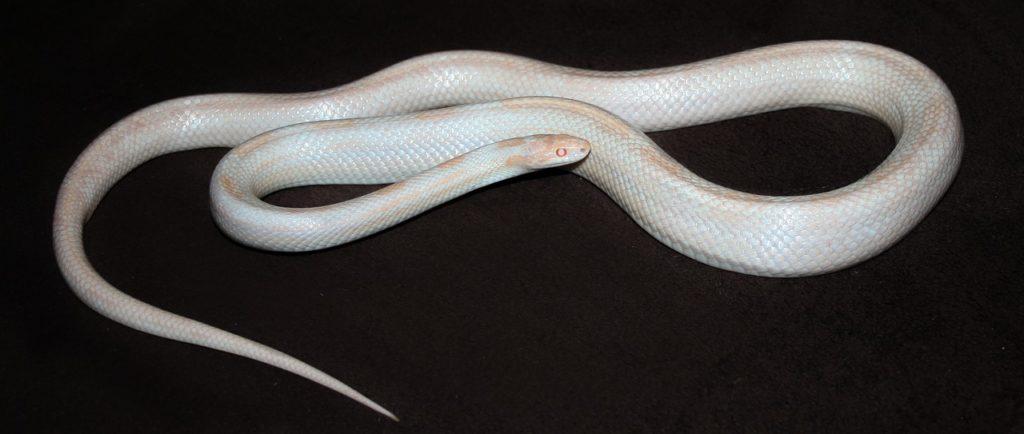 opal corn snake