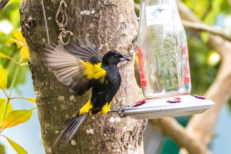oriole bird on a bird feeder