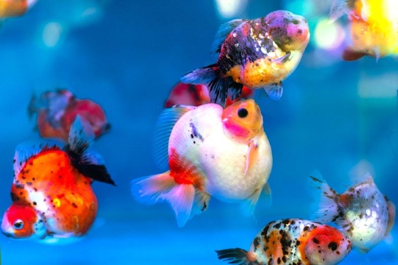 ornamental goldfish mating behaviour