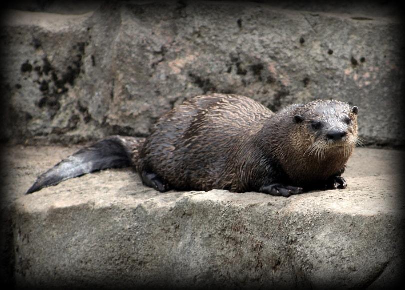 otter in rock_Joanna Jankowski_Pixabay