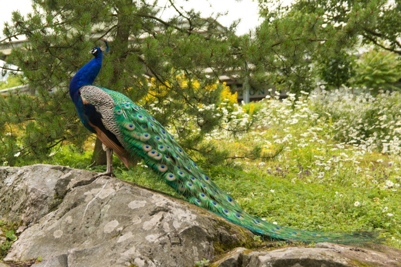 peacock_leelavernissa0_Pixabay