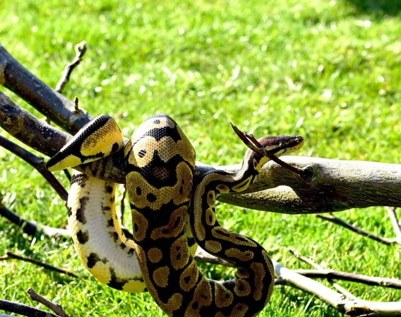 pewter ball python in tree trunks