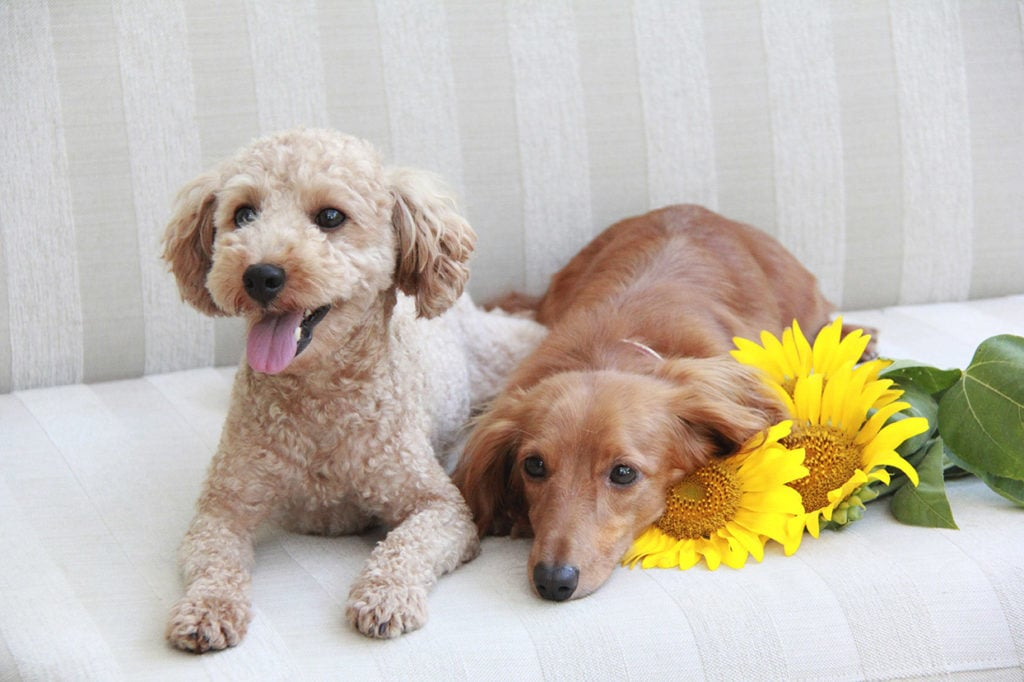 poodle and dachshund