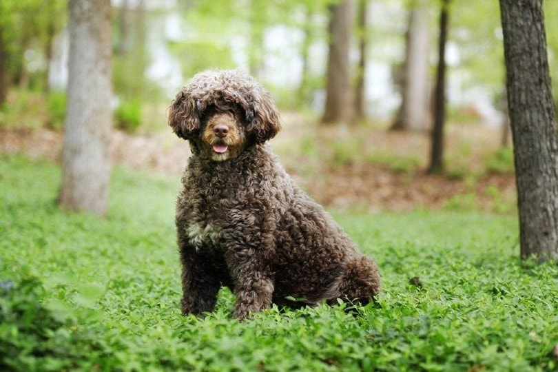 portuguese water dog in the forest
