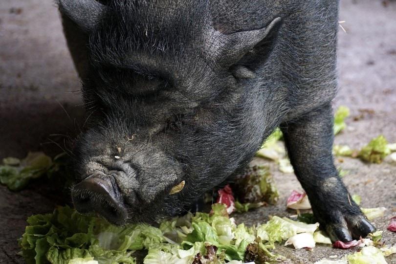 pot bellied pig eating lettuce