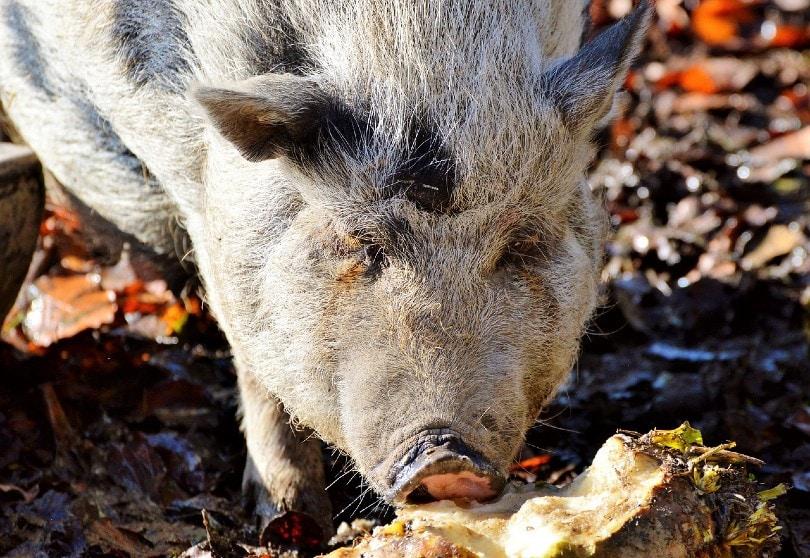 pot bellied pig eating
