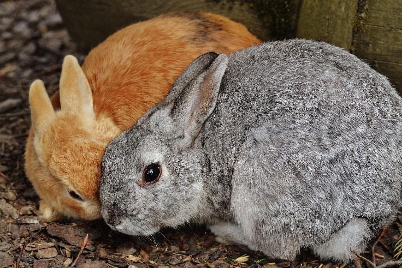 rabbit flatten ears