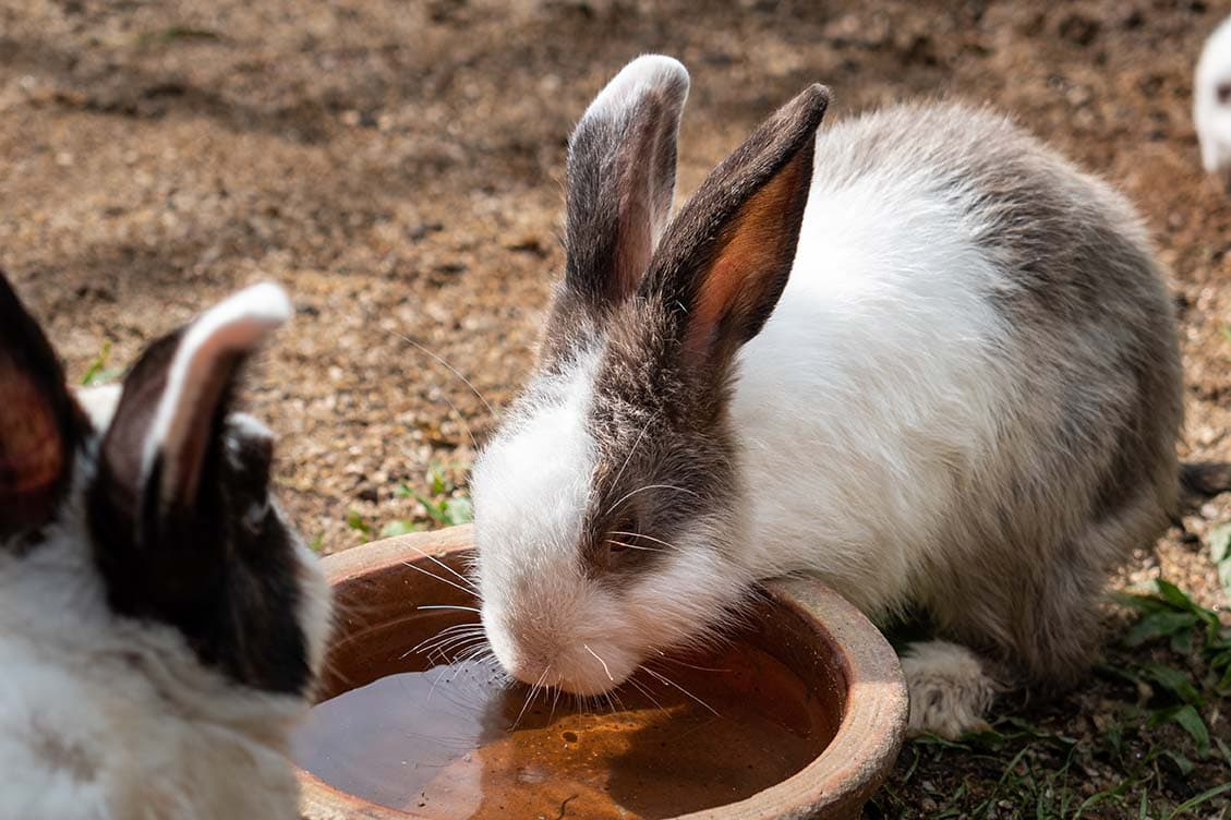 rabbits drinking