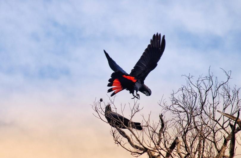red-tailed black cockatoo flying_Terri Sharp_Pixabay