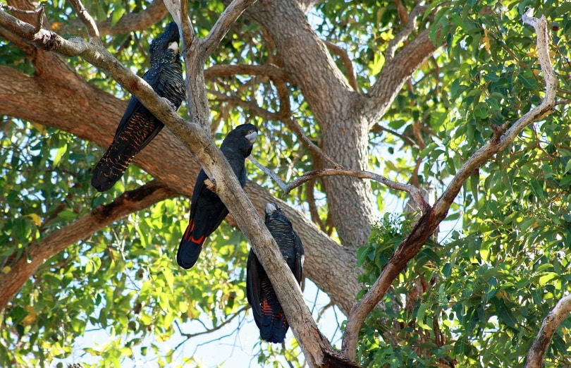 red-tailed black cockatoo in tree_Danielle Shaw_Pixabay