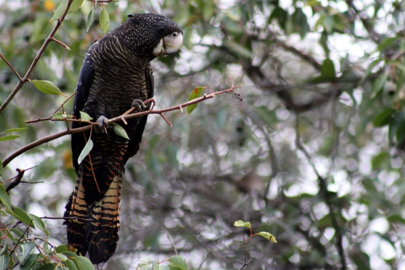 red-tailed black cockatoo_Danielle Shaw_Pixabay