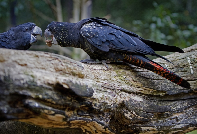 red-tailed black cockatoo_Piqsels