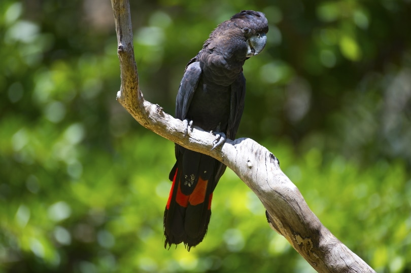 red-tailed black cockatoo_Tony Bowler_Shutterstock