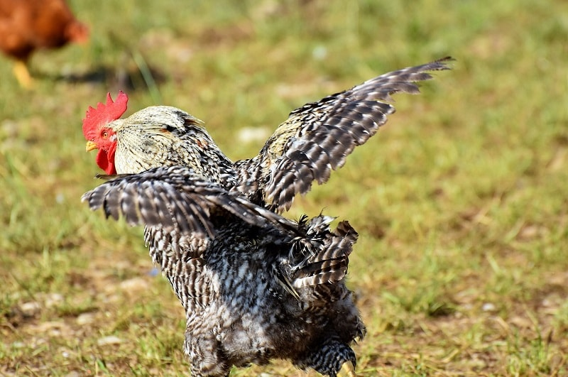 rooster with open wings