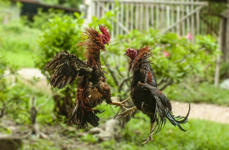 roosters fighting