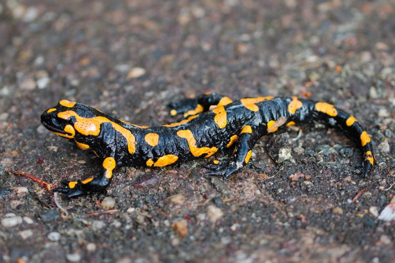 salamander on the dirt