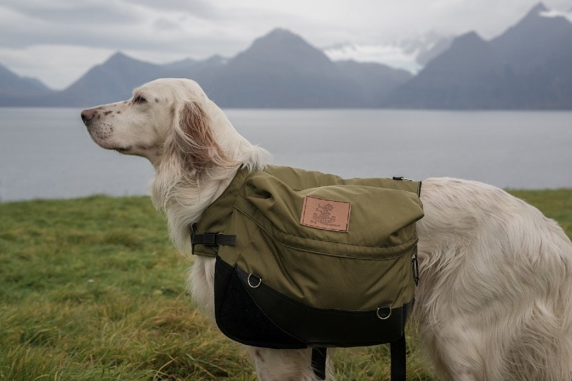 side view of an english setter dog