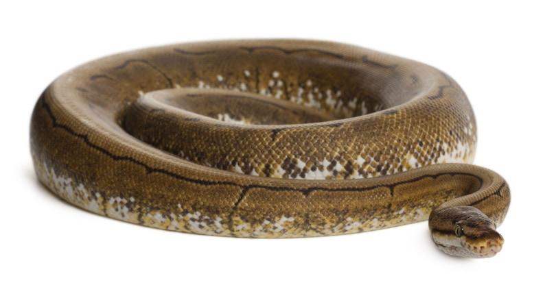 spinner ball python