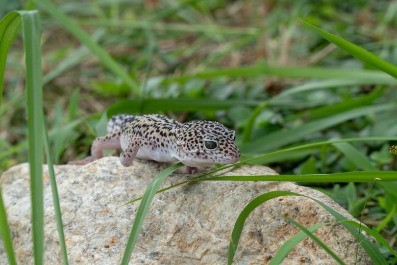 super snow leopard gecko