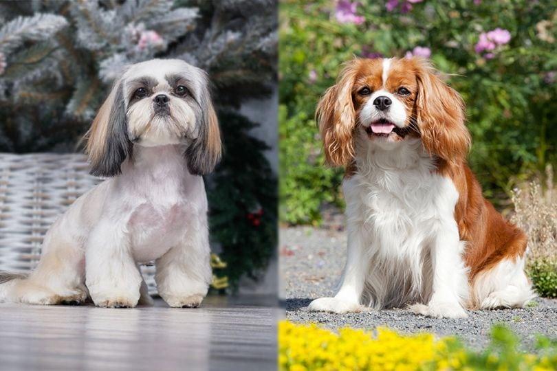 the parent breeds of Cava Tzu