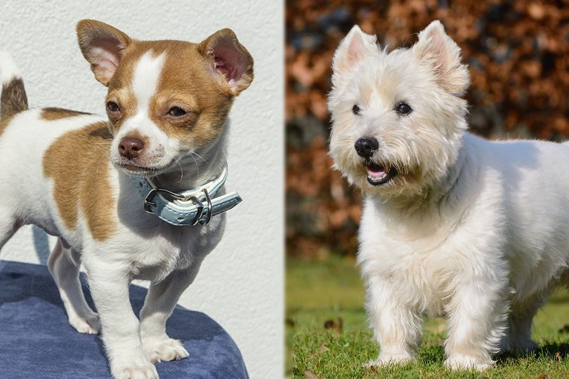 the parent breeds of Chestie (Chihuahua x West Highland White Terrier)