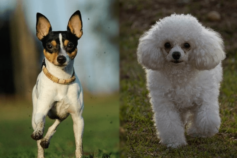 toy fox terrier and poodle
