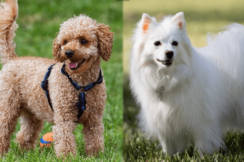 toy poodle and american eskimo