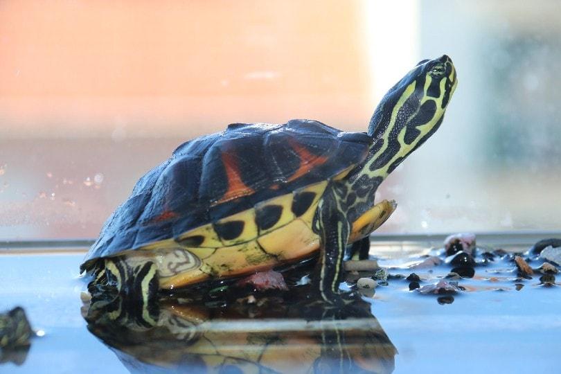 turtle inside tank