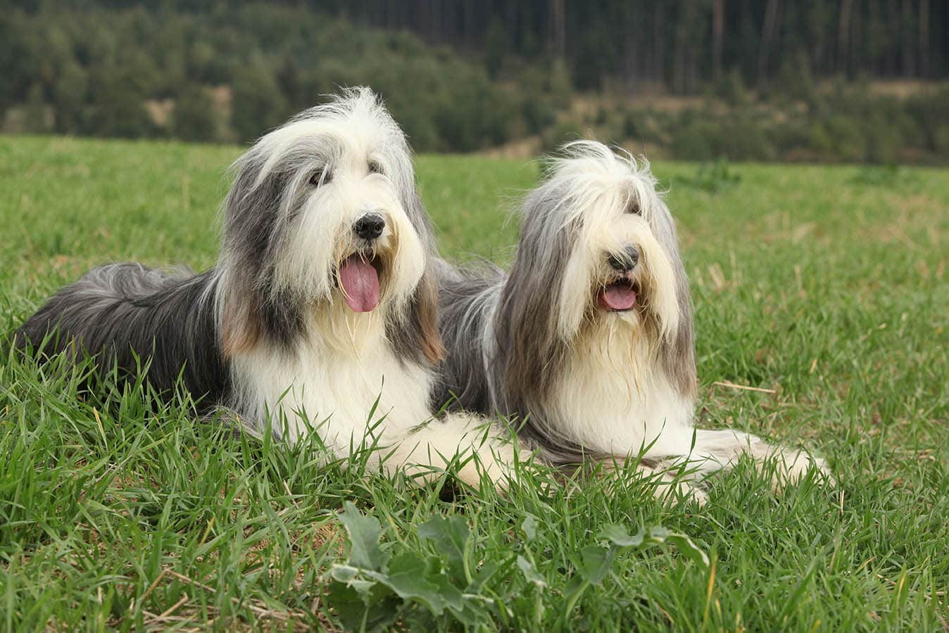 Two bearded collies