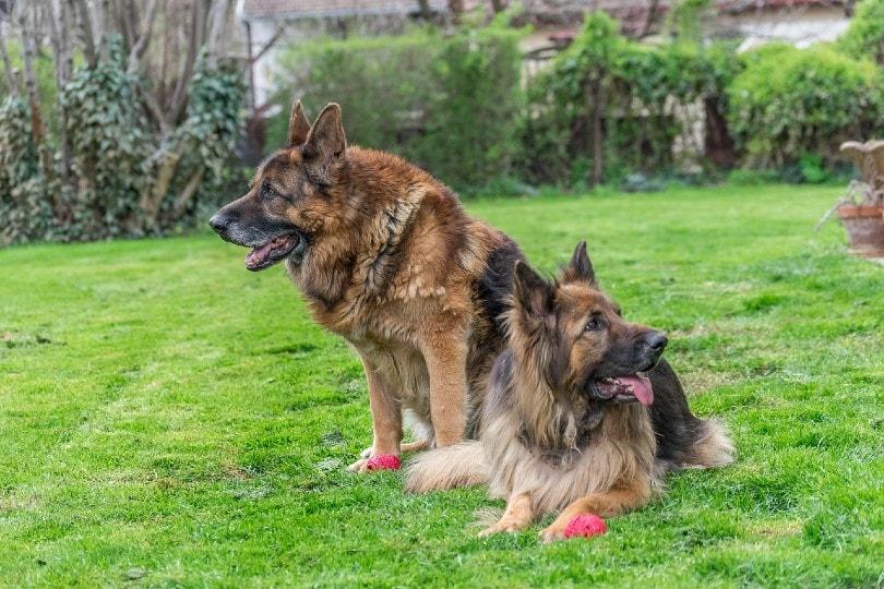 two german shepherds in backyard