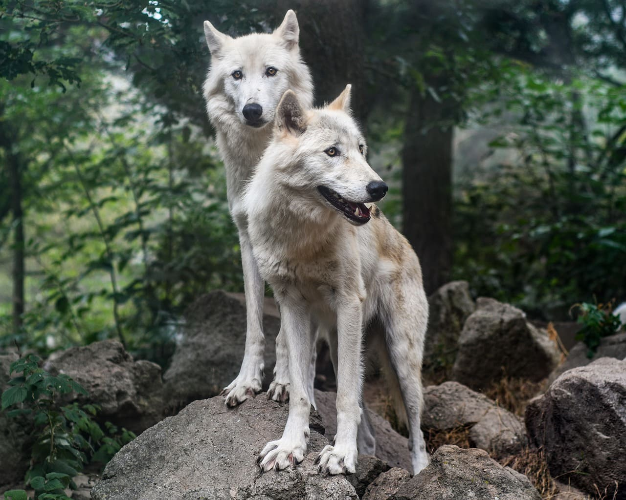 two wolves outdoor