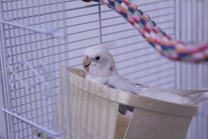 white faced cockatiel