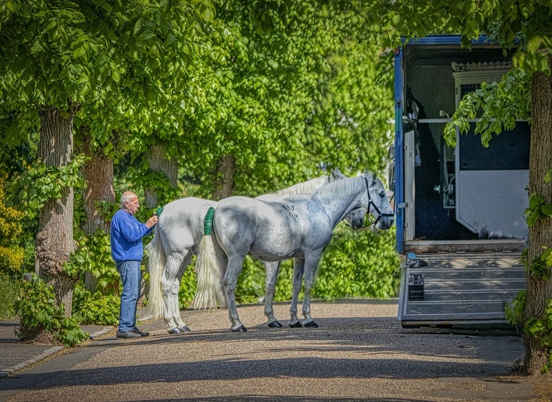 white horses getting ready to go in the trailer